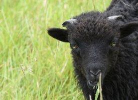 Paris : des moutons remplacent les tondeuses à gazon au bord du périphérique