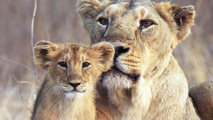 Inde : le retour des lions