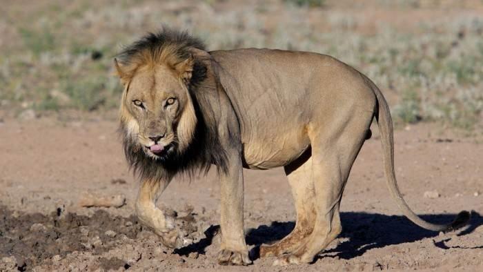 Vivre parmi les lions