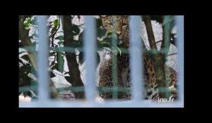 fea4628cf28d5 Jardin des plantes : le bébé panthère fait ses premiers pas sur ...