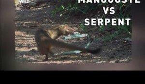 Mangouste contre serpent