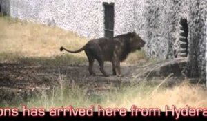 Kanpur zoo welcomes asiatic lions