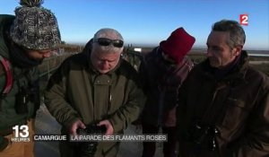 Camargue : la parade des flamants roses