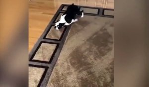 Ce Boston Terrier adore son nouveau tapis !