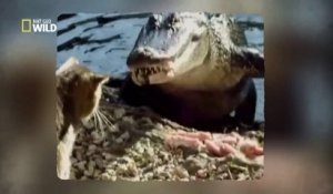 Un chat se bat contre un alligator