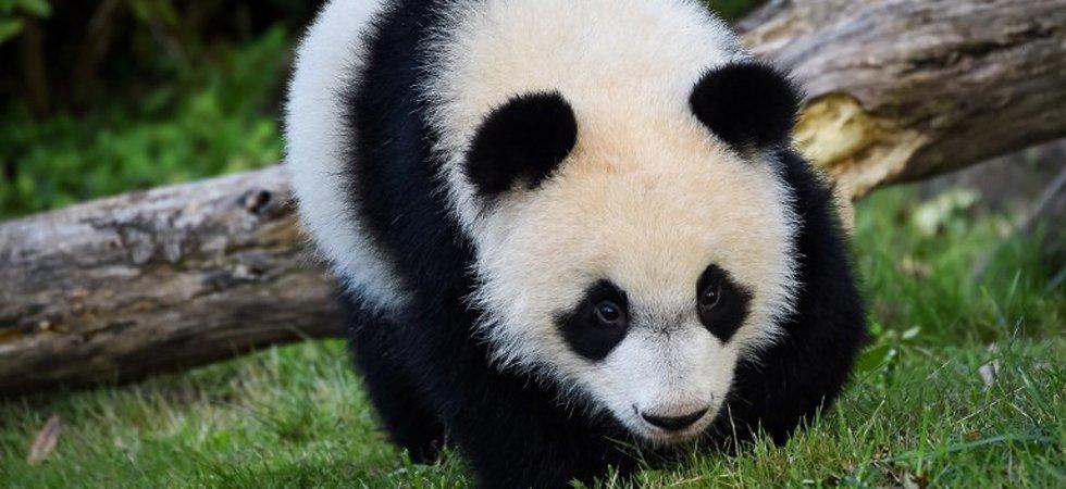 Le Bébé Panda Du Zoo De Beauval Fête Son Premier Anniversaire